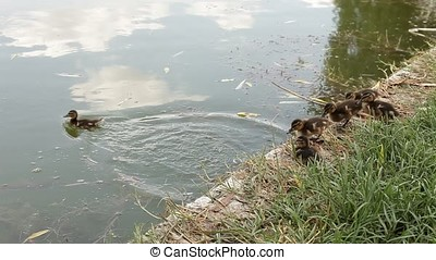 Courageous Ducklings Jumping into Water - Courageous...