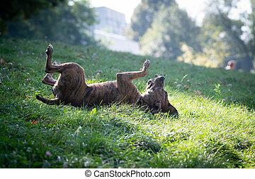 courant, amusement, chien, herbe, parc vert, extérieur, avoir