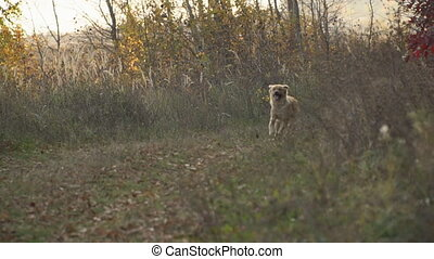 courant, chien