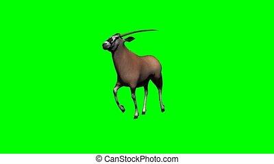 courant, gemsbock, antilope