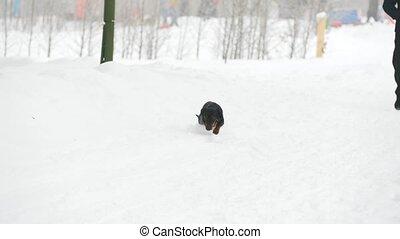 courant, jouer, teckel, neige, chien