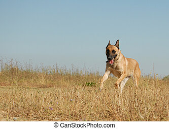 courant, malinois