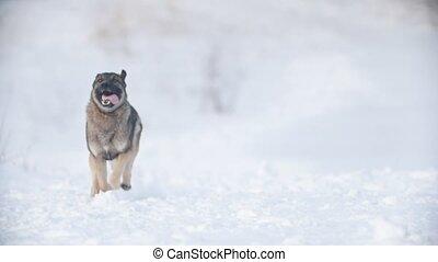 courant, neige, par, chien, ralenti