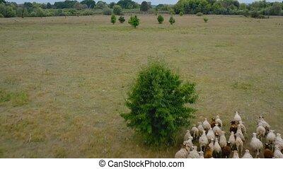 courant, sheeps, bourdon, troupeau, sheep., suivre, vue, pasture., aérien