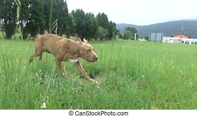 courant, travers, herbe, chien