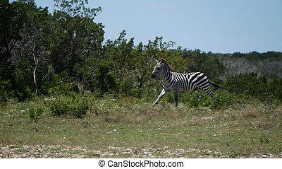 courant, zebra