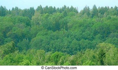 courber, wind., agrafe, arbres, 4k, fort