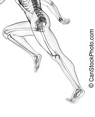 coureur, anatomie