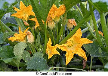 Blossom of courgette plant (Cucurbita pepo)