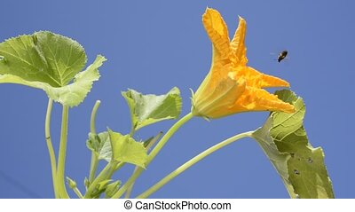 Courgette flower - Yellow courgette flower under blue sky