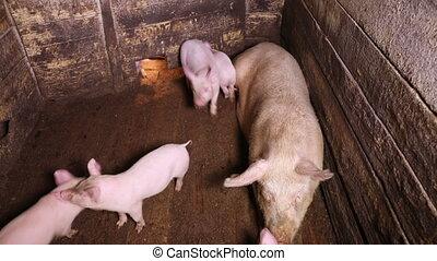 course, autour de, cochon, stylo, plusieurs, porcelets