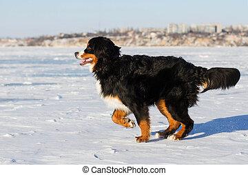 course, bernese, chien
