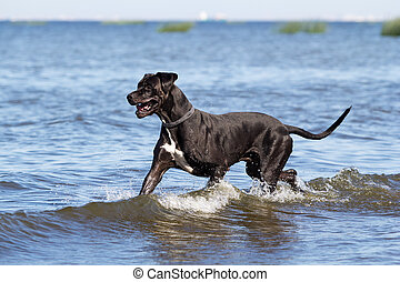 course, mastiff, eau, mer noire