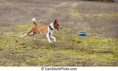 Coursing. Basenji dogs runs across the field