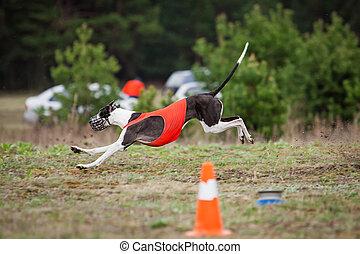 Dog Greyhound pursues bait in the field
