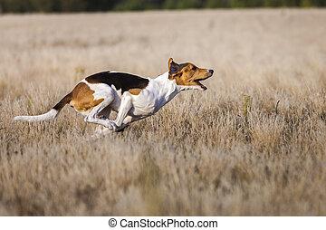 Coursing. Dogs Estonian hound finish lacks the lure.