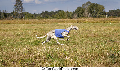 Coursing. Hound Dog Horta is running on the field