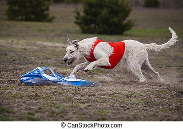 Coursing. Irish Wolfhound dog
