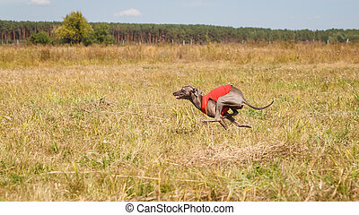 Coursing. Italian greyhound dog running across the field....