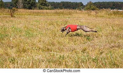 coursing., italienischer windhund, hund, rennender , über, der, field., rotes , sh