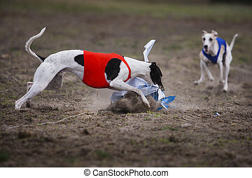 Whippet dog running in the field