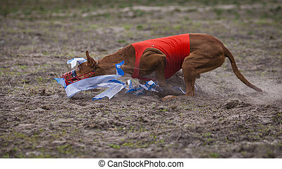 Coursing, Pharaoh dogs runs across the field