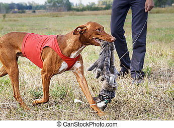 Coursing. Pharaoh Hound caught bait. Rabbit skin