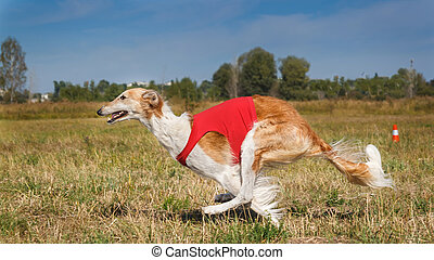 Coursing. Russian borzoi dog running in the field.