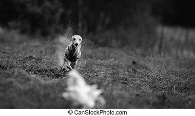 Dog Italian Greyhound pursues bait in the field