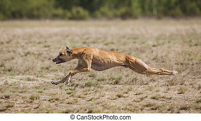Coursing training. Whippet Dog running on the field