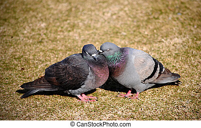 Courting pigeons bill and coo