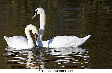 This pair of courting Mute Swans were captured at Slimbridge WWT in the UK.
