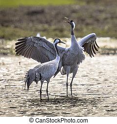 Courtship Eurasian crane display