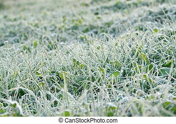 couvert, givre, herbe, vert