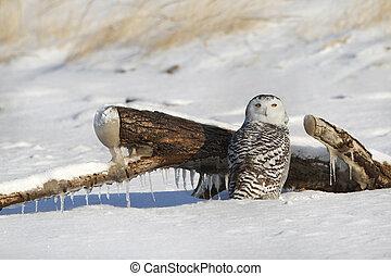 couvert, hibou, plage, neige, neigeux