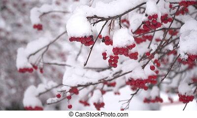 couvert, snow., vidéo, beau, hd, haut., baies, sans feuilles, hiver arbre, branches., fin, viburnum, paysage, mouvement, neige, parc, rouges