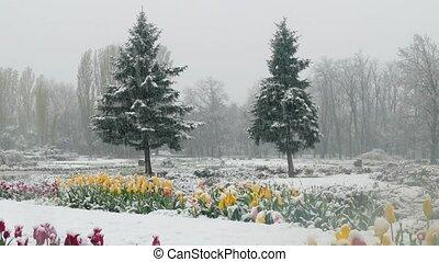 couvert, tulipes, parc, neige, multicolore