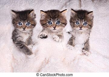 couverture, mensonge, lit, chatons
