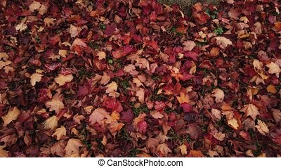 Cover f red fallen leaves oround the maple tree