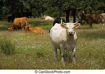 cow 22