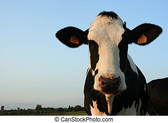 Cow - a cow in a field at dusk