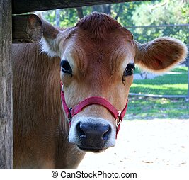 Cow - A tan cow peeking through a fence