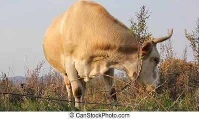 Cow against a pasture of fresh gras