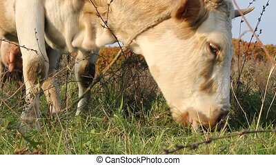 Cow against a pasture of fresh grass