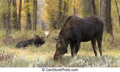 a cow moose grazing in front of a bedded bull