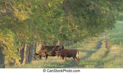 Cow and calf grazing near deciduous - Big black cow and...