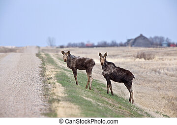 Cow and Calf Moose in Prairie Saskatchewan Canada