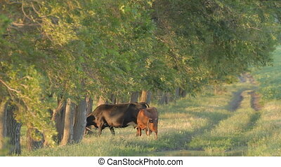 Cow and calf nipping green grass ne - Cow and calf standing...