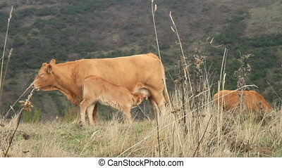 cow and calf - small brown calf feeding the mom cow