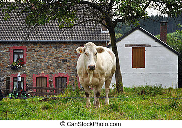 Cow and Farm - Cow in the front of a Farm in the Belgium ...